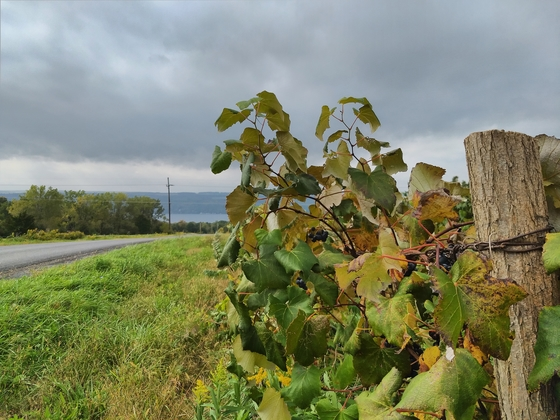 Grapes and lake Seneca