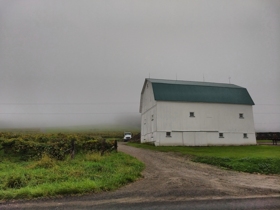 Misty vineyards and a barn